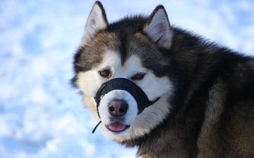 face, look, dog, husky, language, malamute, alaska