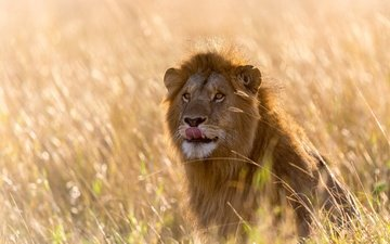 light, grass, africa, leo, language, bokeh