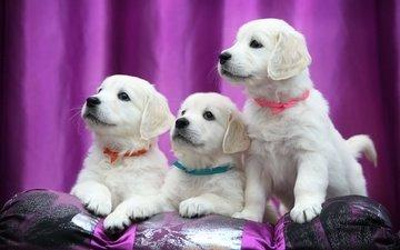 ленточки, щенки, лабрадор, ретривер