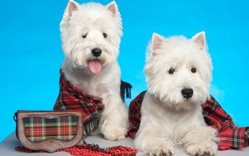 white, puppies, york, the west highland white terrier, tartan