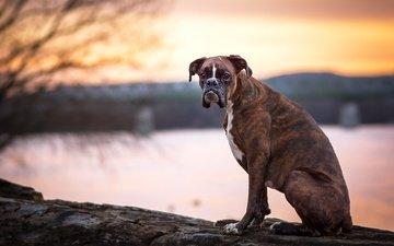 взгляд, собака, друг, боксер