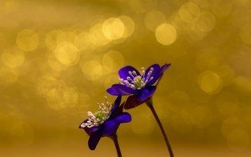 цветы, природа, фон, весна
