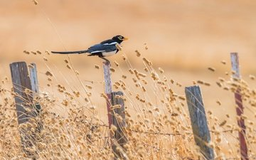 summer, the fence, bird, forty, yellow-billed magpie, california