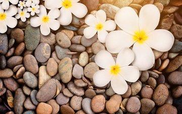 цветы, природа, камни, макро, белая, дерева, цветы, плюмерия
