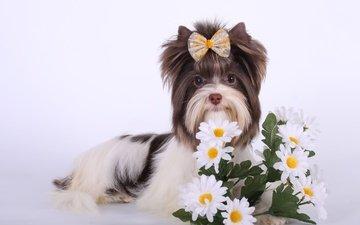 цветы, порода, бантик, йоркширский терьер, биро-йорк