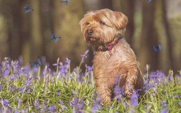 цветы, собака, бабочки, фотошоп