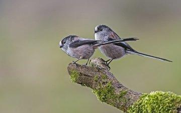 ветка, дерево, птицы, мох, синица, длиннохвостая синица