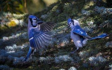 природа, хвоя, ветки, птицы, ель, пара, сойка