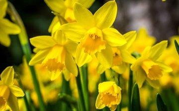 цветы, макро, весна, нарциссы, желтые