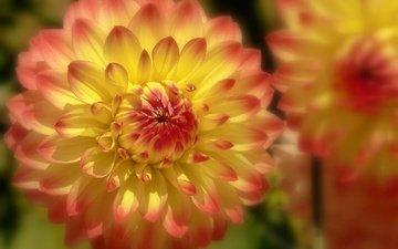 цветы, макро, боке, георгины