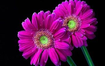 цветы, макро, фон, малиновые, герберы