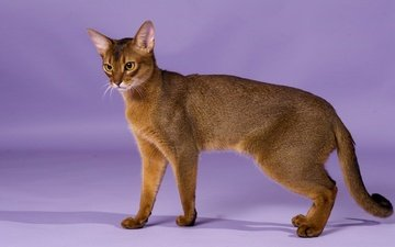 cat, breed, grace, abyssinian cat