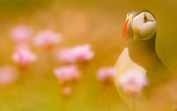 light, flowers, bird, stalled, atlantic puffin