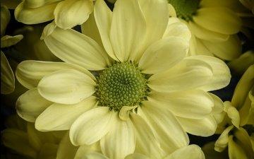 цветы, макро, лепестки, хризантема