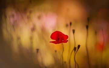 flowers, flower, red, mac, bokeh