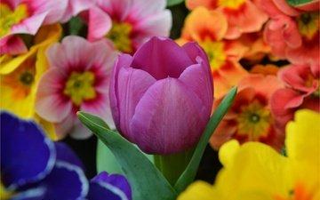 цветы, весна, тюльпан, цветы, примула, весенние, фиолетовый тюльпан