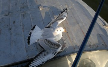 крылья, чайка, птица, клюв