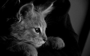 кот, кошка, чёрно-белое, серый, монохромный