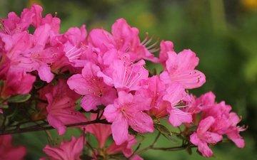 цветение, весна, розовые цветы, весенние