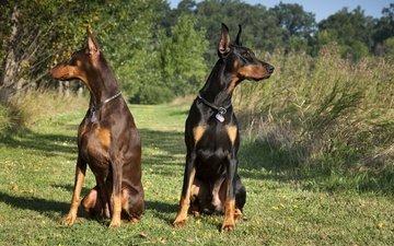 черный, пара, собаки, коричневый, доберманы, tampa-family-lawyer