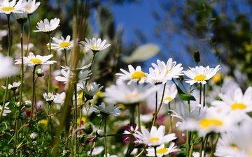цветы, лето, ромашки, полевые