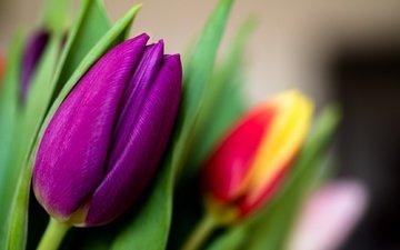 цветы, макро, бутон, тюльпан, лиловый