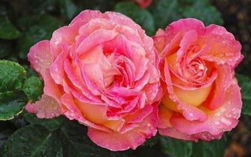цветы, вода, макро, капли, розы, окрас, роз, пинк