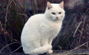 трава, кот, кошка, белая, боке