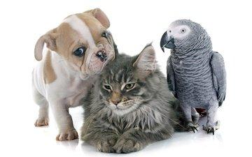 кот, кошка, собака, щенок, птица, коты, щенка, попугай, бульдог, попугаи, ю