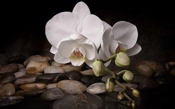 вода, камни, цветок, белая, орхидея