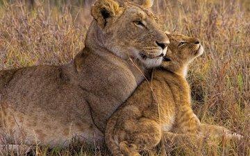 африка, львы, львица, львёнок