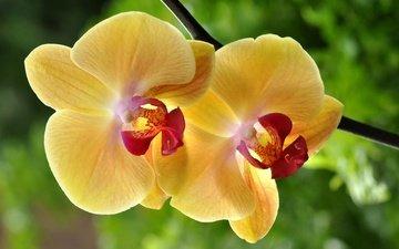 макро, цветок, жёлтая, орхидея