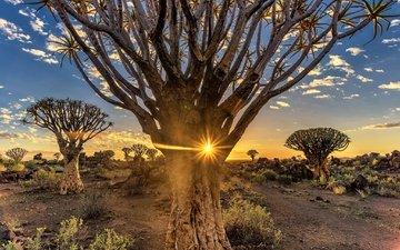 деревья, вечер, солнце, пустыня, африка, намибия, quiver tree