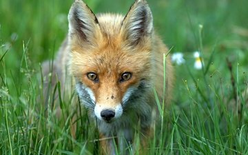 grass, greens, muzzle, summer, red, fox, bokeh
