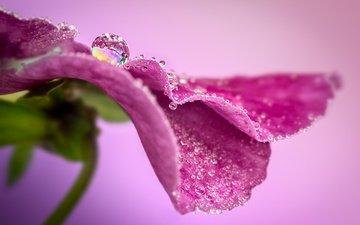 макро, цветок, капля, лепесток, анютины глазки, sophiaspurgin