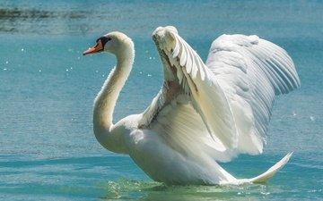 water, wings, bird, swan, the scope