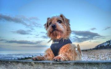 море, портрет, собака, песик, терьер, норфолк-терьер