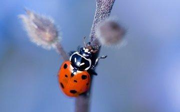 природа, насекомое, божья коровка, растение