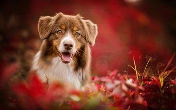 природа, листья, осень, собака, животное, друг, пес
