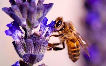 природа, насекомое, цветок, растение, пчела
