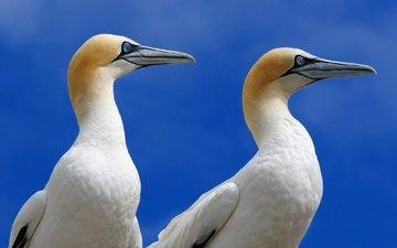 природа, птицы, олуша, северная олуша, морская птица