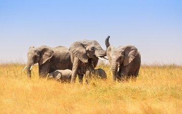 nature, africa, elephants