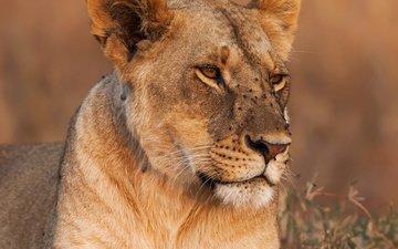 морда, трава, фон, хищник, лев, крупный план, львица, боке