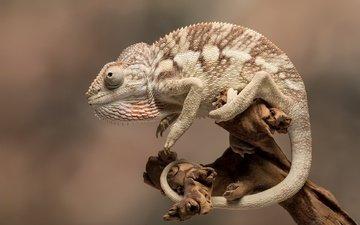 природа, фон, ящерица, хамелеон