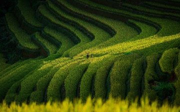 поля, люди, зеленый фон, ступени, рис