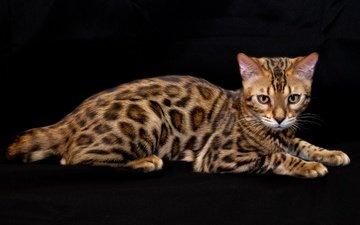 кошка, взгляд, порода, бенгальская, бенгал