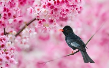 цветы, ветка, птица, весна, бюльбюль, sue hsu, черный бюльбюль