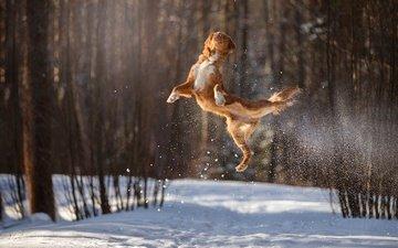 снег, зима, полет, собака, прыжок, в воздухе, боке