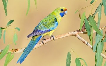 bird, parrot, bright, rosella