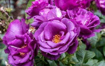 цветы, розы, лепестки, лиловые